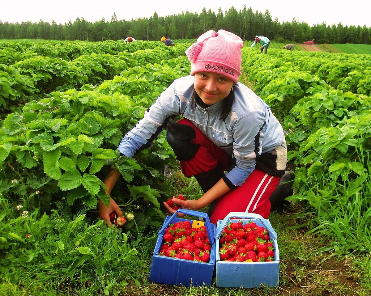 Так происходит сбор ягод в Финляндии на ферме